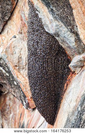 Hive of wasps. Hornet's nest. Gathered thousands of wasps. Location: Sri Lanka