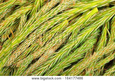 Fir Tree Sprout