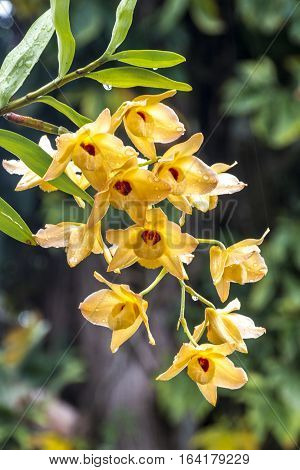 Stem Of Yellow Dendrobium Orchid Flowers Covered In Raindrops
