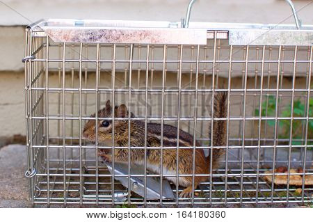 chipmunk caught in backyard patio in humane trap