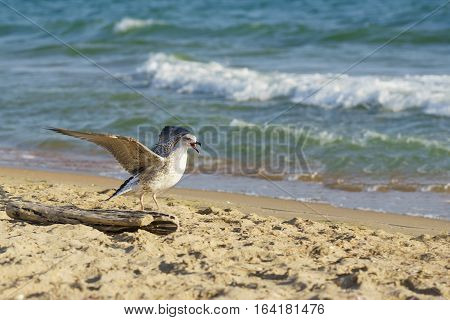 Seagull (lat. Larus argentatus) on the beach screaming