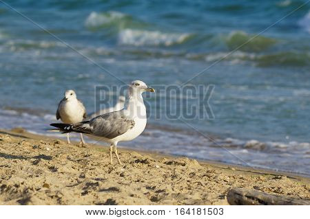 Seagulls (lat. Larus argentatus) in flight on the sandy beach