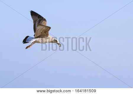 Seagulls (lat. Larus argentatus) in flight against the sky
