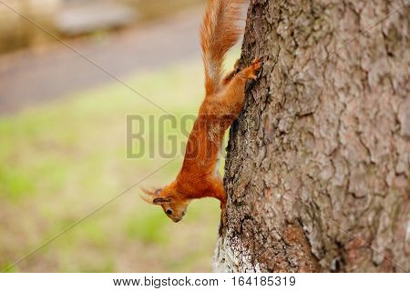 squirrel on pine tree. Funny squirrel in forest