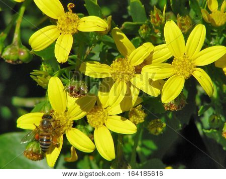 Yellow Flowers With Green Back Ground Foliage 12mmn