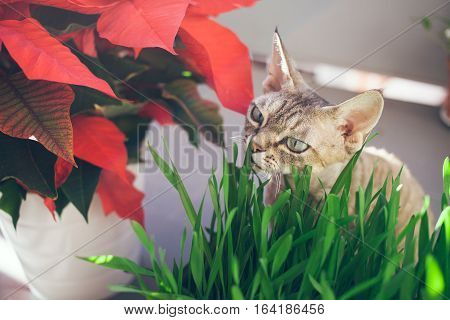 Clouse-up of a beautiful devon rex cat eating fresh green grass. Pet grass. Natural hairball treatment.Copy-space blank for your advertisement content