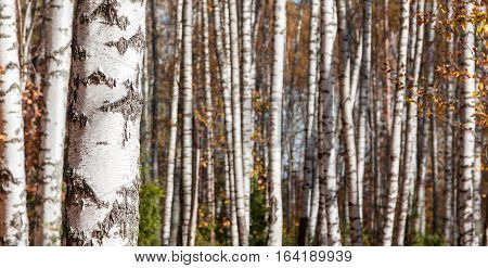Birch forest landscape background in the late autumn