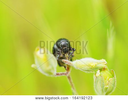 Black beetle on the flower macro photo