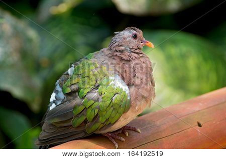 full length profile of emerald dove or chalcophads indica bird perched on ledge