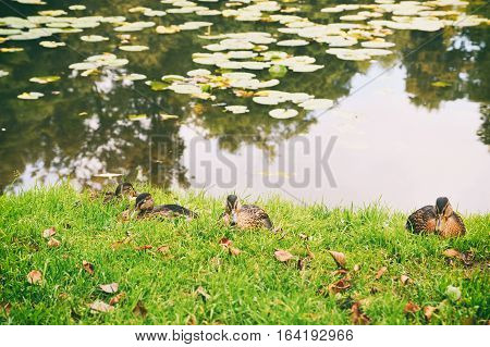 Wild ducks resting on the lakeside in grass