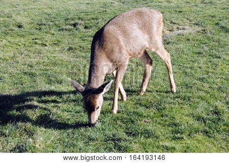 A doe feeding in a field in Oak Harbor, Wa.