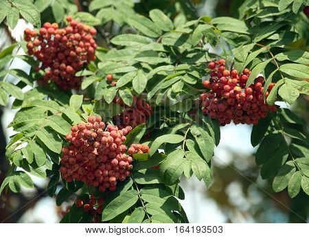 Many rowan-berries fruits hangs on green branches in sunny summer day. Horizontal view close up