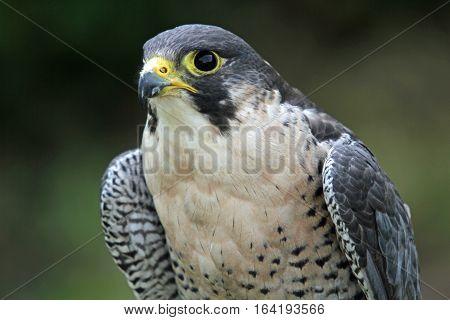 Male Peregrine Falcon sitting on a perch
