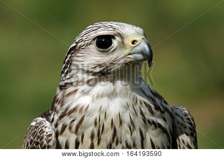 Head and shoulders shot of a bird of prey