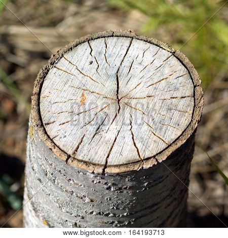 Stump of sawn aspen with cracks and annual rings. Photo closeup