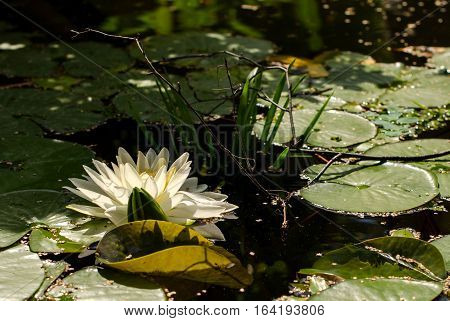 Blooming Lotus In The Garden On A Summer Day.