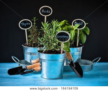 Herb garden thyme rosemary and basil in pots gardening tools chalk board and rustic blue background selective focus toned image