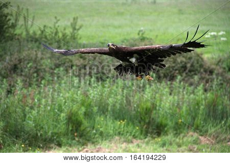 Russina Steppe Eagle taking off and climbing away