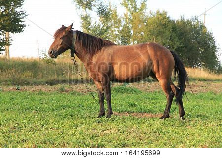 tethered horse walks on a green meadow