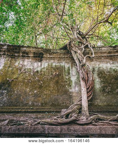 Fascinating tree taking hold to an old wall at Beng Melea Temple on the outskirts of Angkor Wat Cambodia. Strange tree at Beng Melea, Angkor, Cambodia.