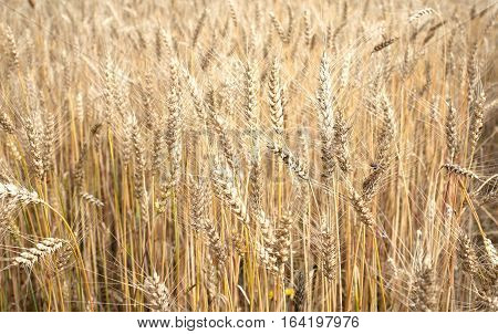 Lot ears of rye on rural field on summer day closeup