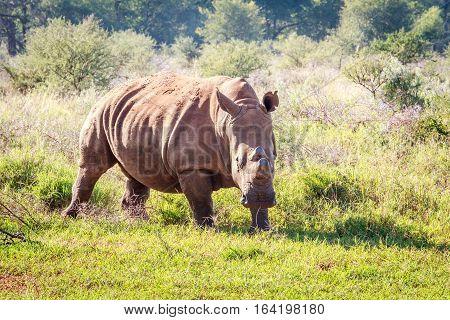 Dehorned White Rhino.