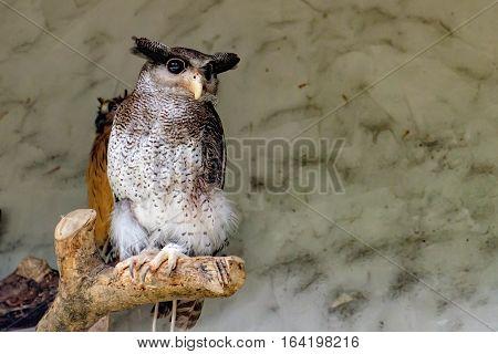 The barred eagle-owl Bubo sumatranus also called the Malay eagle-owl is a species of owl in the Strigidae family. Kuala Lumpur Bird park, Malaysia