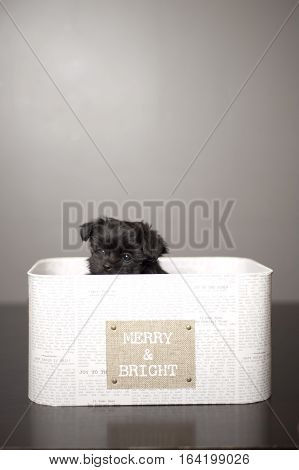 Tiny black puppy, (mix breed of Yorkie, Shitzu and Malteese), in a Christmas box. Box refection showing on brown floor. Grey background.