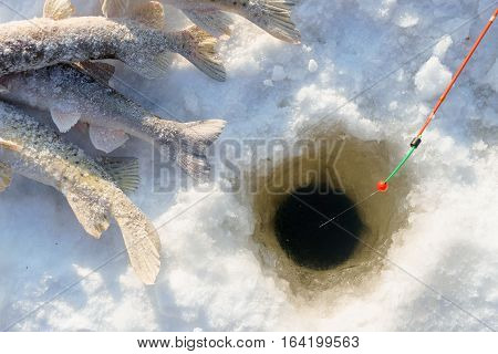 Fish and rod on the Ice close to hole while winter fishing at sunny day