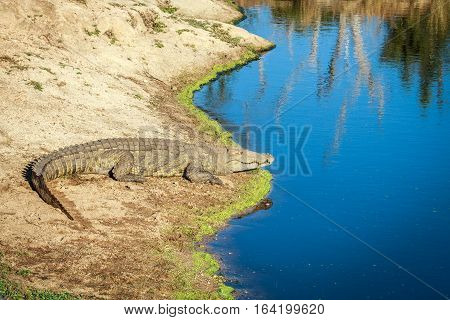 Nile Crocodile Laying Next To The Water.