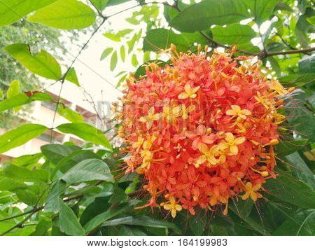 Colorful orange and yellow blooms of Asoka tree.