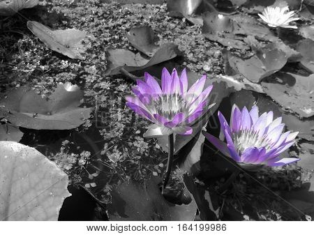 Two purple waterlilies in the pond. Picture in colorful on black and white background.