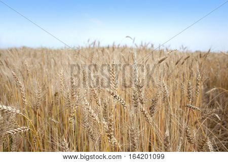Landscape with lot ears of rye on rural field under blue cloudless sky on summer day closeup