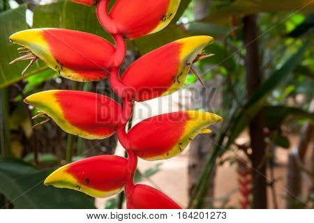 Heliconia rostrata (also known as Hanging Lobster Claw or False Bird of Paradise) is an herbaceous perennial.