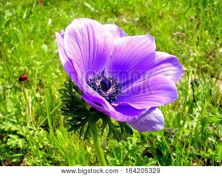 Beautiful Violet Crown Anemone in park in Ramat Gan Israel January 23 2007