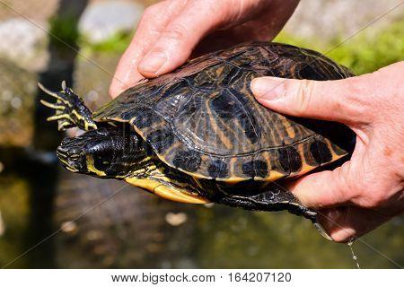 Common Turtle Slider Trachemys Scripta