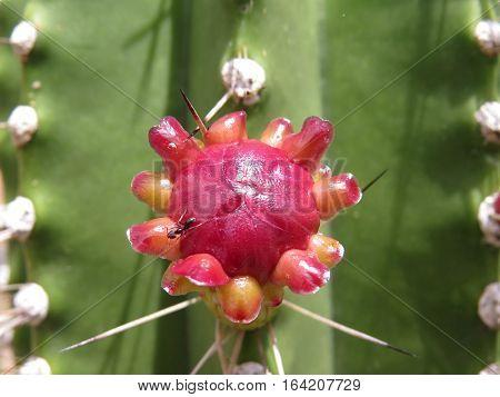 Red desert cactus cacti flower in full bloom with ant