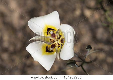 Macro photo of a wild Sego Lily Calochortus nuttallii state flower of Utah.