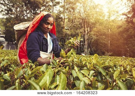 NUWARA ELIYA, SRI LANKA - July 25, 2016: Woman working on Sri Lankan tea plantation. A woman from Nuwara Eliya is picking tea leaves at a plantation in Sri Lanka.
