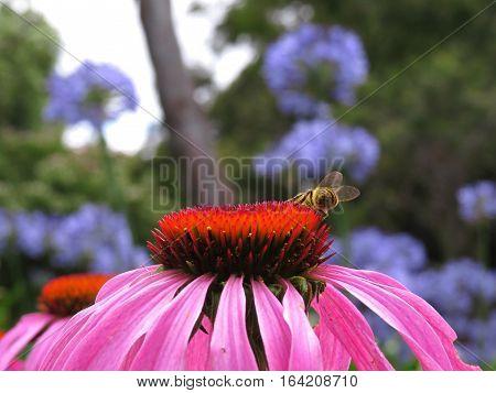 Pink Echinacea flower in bloom in garden with bee