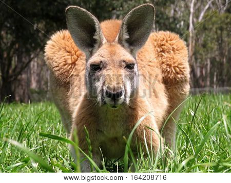 Australian kangaroo marsupial animal in the grass