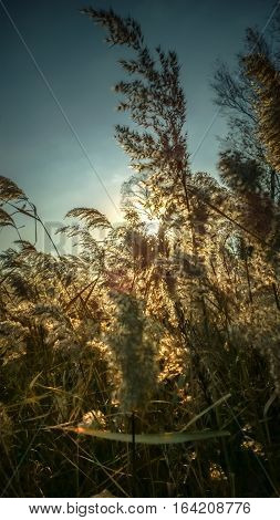 Dry grass - tall stalks of dried grass on a background of sky and sunlight