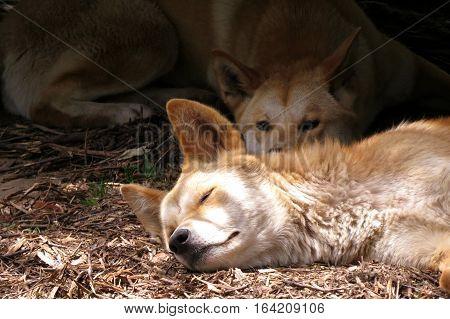 Australian dingo dog mammal animal asleep on the ground