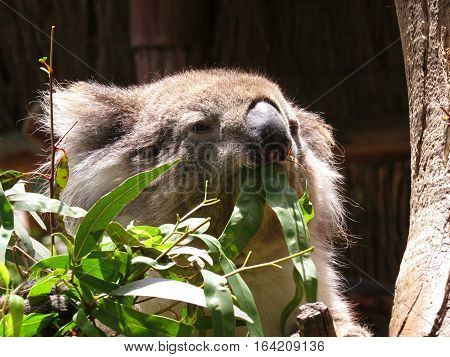 Australian koala marsupial animal in a tree eating gum leaves