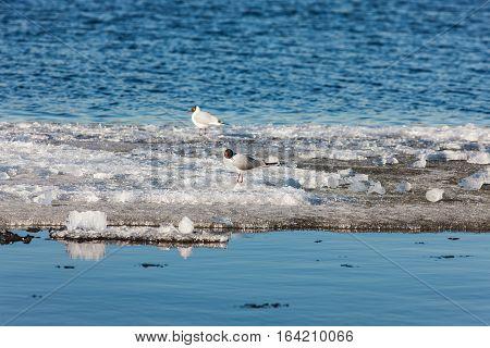 Gulls on melting ice floe in spring