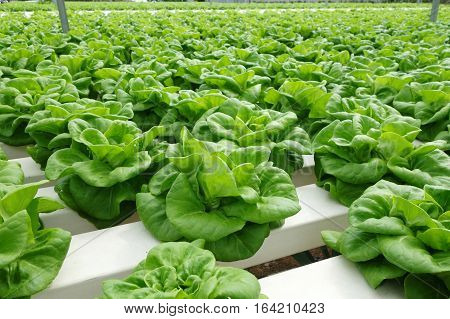 Commercial Greenhouse Soilless Cultivation Of Vegetables