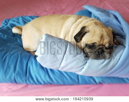 Fat lazy pug dog puppy sleep rest on blanket in the bed
