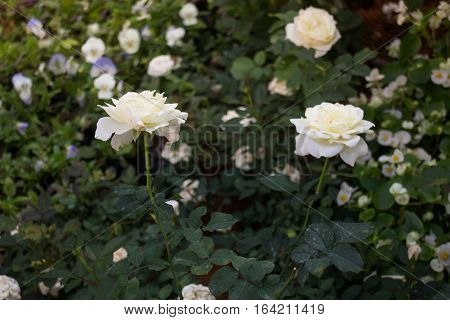 Beautiful white rose flower in the garden stock photo