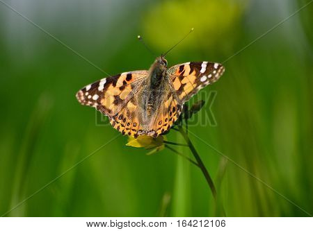 painted lady butterfly enjoying mustard nector in windy weather