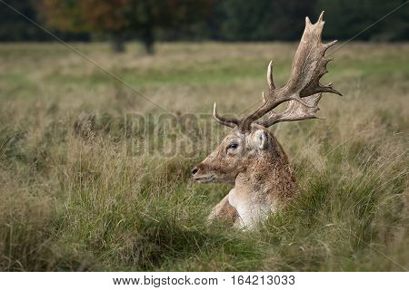 A close up profile photograph of a fallow deer stag lying in the grass with large antlers and looking left